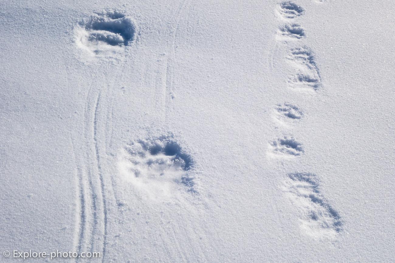 Trace ours dans la neige Baffin