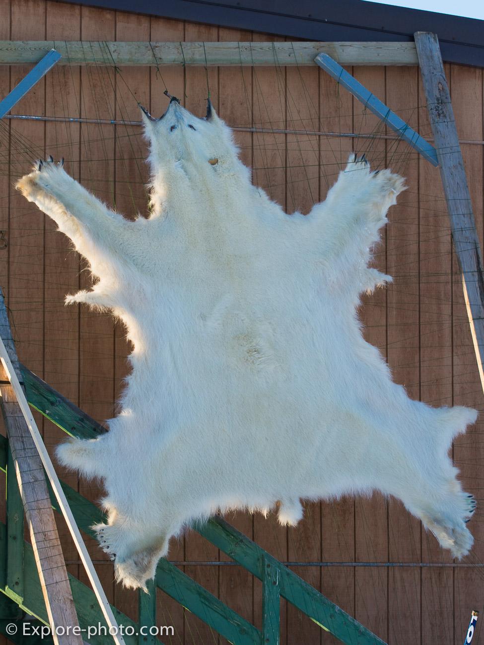 peau d'ours polaire étendue qui sèche