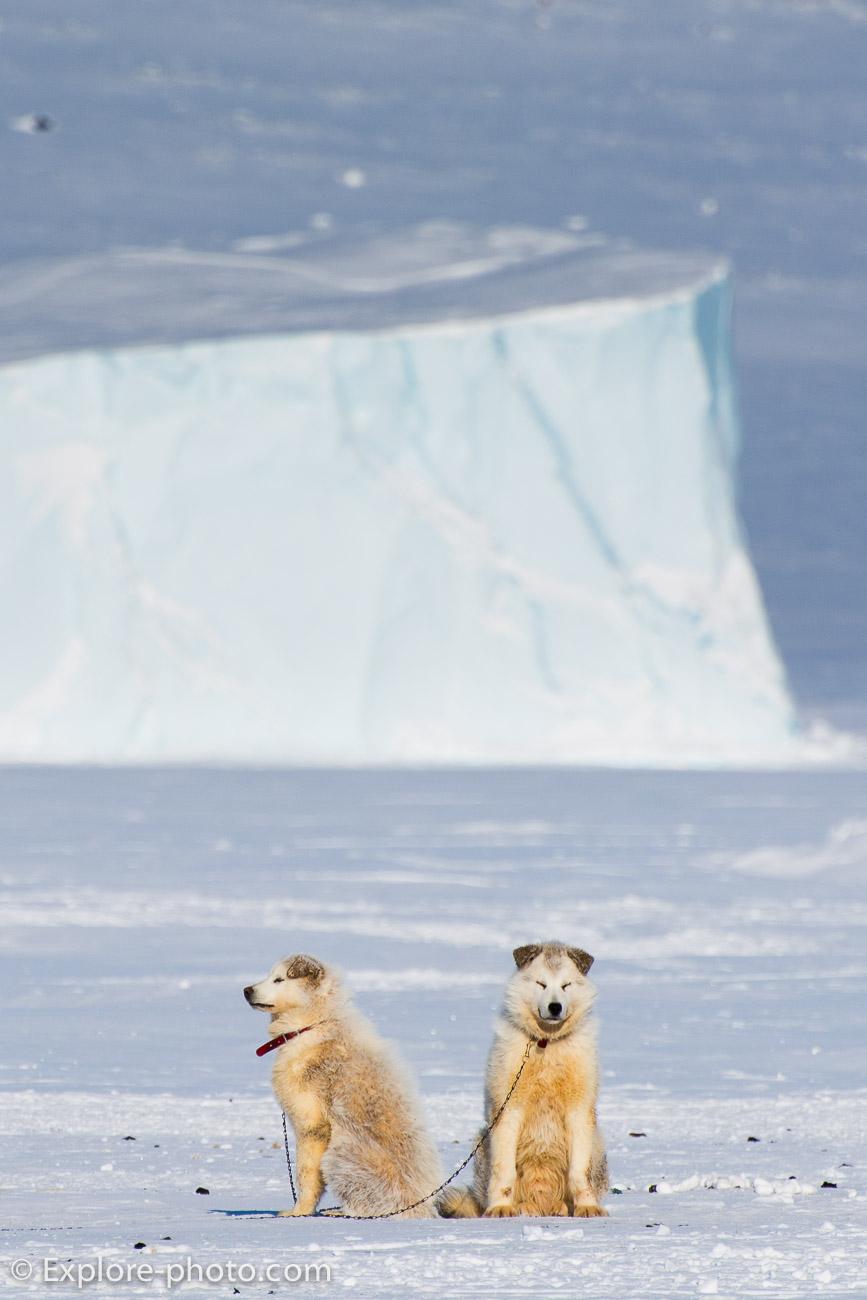 Chiens de traineau attachés sur la banquise de Baffin